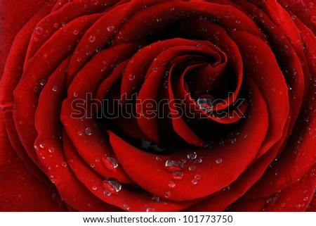 Red rose with dew drops closeup - stock photo