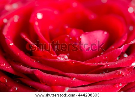 Red rose with drops of dew.