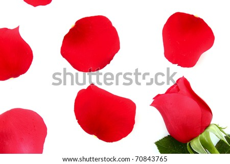 Red rose with fallen petals isolated on white