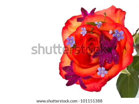 red rose with flowers hyacinth on a white background - stock photo