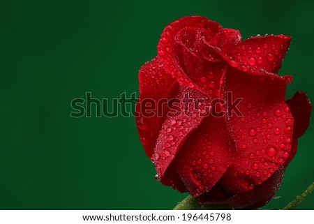Red rose with lots of water drops. Macro - stock photo