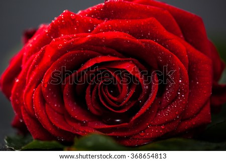Red rose with petals, macro closeup, shallow depth of field.