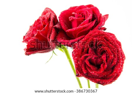Red rose with rain drops isolated on white background.