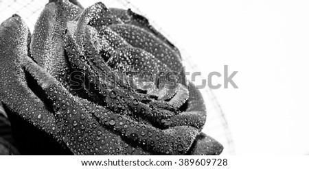 Red rose with rain drops on white background. Black and white photo - stock photo