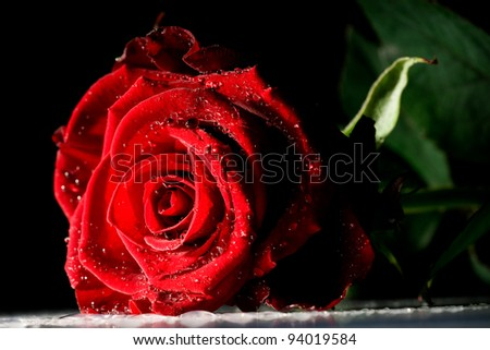 red rose with strong contrast on black background - stock photo