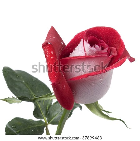 red rose with water droplets on a white background - stock photo