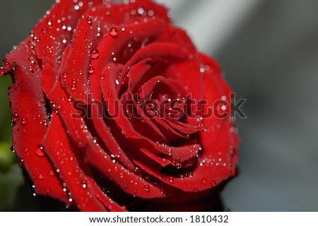 red rose with water drops close up