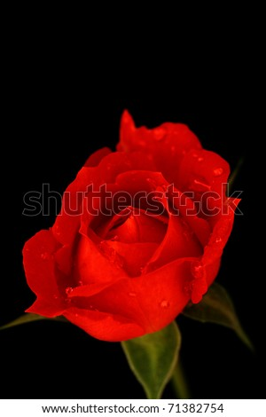 Red rose with water drops isolated on black