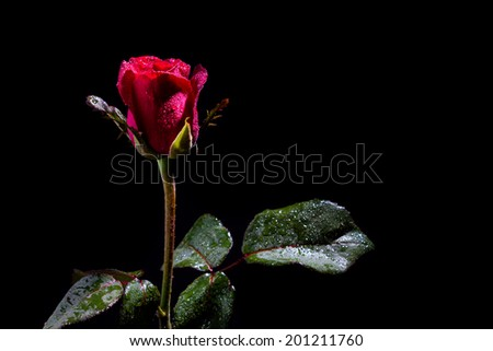 Red rose with water drops on black background - stock photo