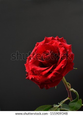Red rose with water drops on dark background - closeup. - stock photo