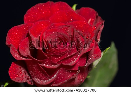 red Rose with water drops / rose and water drops - stock photo
