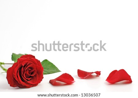 Red roses and rose petals .Red roses and rose petals on white background. Rose of love.Rose on white background. Beautiful pink roses. Roses gift. Red rose on white Rose with petals.Rose for mother.  - stock photo