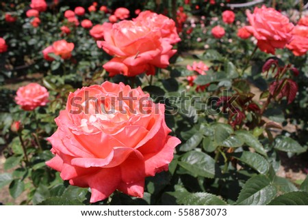 Red roses blooming