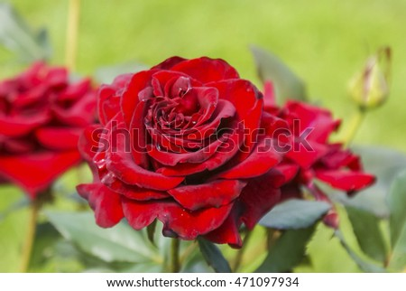 red roses, blooming Bush of red roses