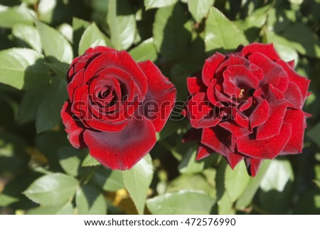 red roses, blooming bushes of red roses