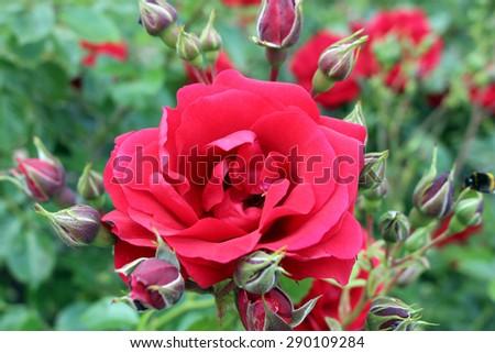 red roses bush - stock photo