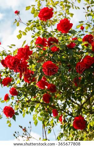 Red roses bush in the garden - stock photo