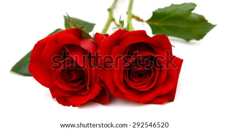 red roses flower isolated on white