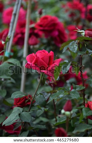 Red roses flowers and buds. Rosegarden nature background.
