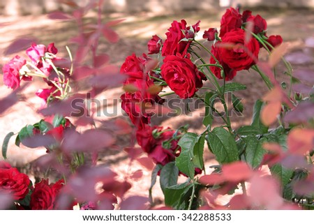 Red roses in a garden in Fall.