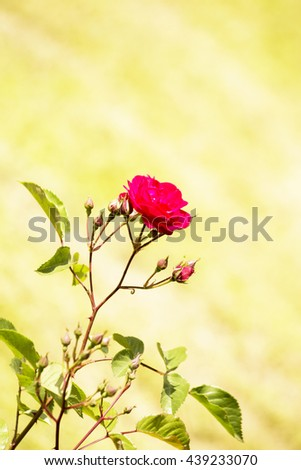 red  roses in garden,garden roses,nature,amazing roses,rose in garden,rose on yellow,rose on green,lovely rose,delicate flowers,sensitive flowers,wonderful roses,red petals,rose flowers,floral,leaves - stock photo