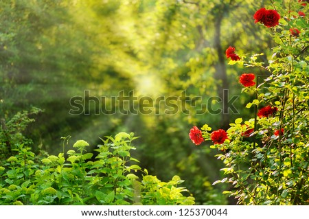 red roses in summer morning garden - stock photo