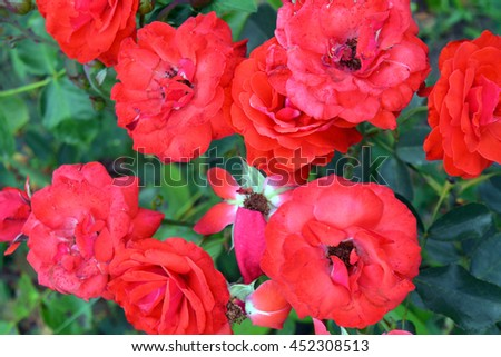 Red roses in the garden.