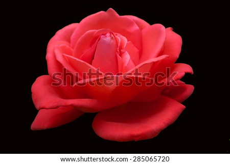 Red roses isolated on a black background - stock photo