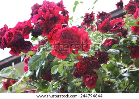 red roses on sunny sky background. - stock photo