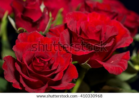 red Roses over a dark background / red roses - stock photo
