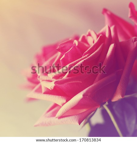 Red roses with sunshine - stock photo
