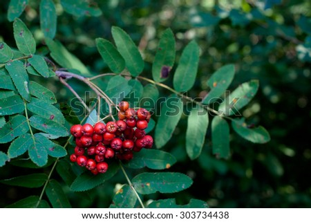 Red rowan berries on a green rowan-tree
