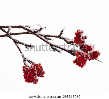 Red rowan fruit covered with hoarfrost. Close up. - stock photo