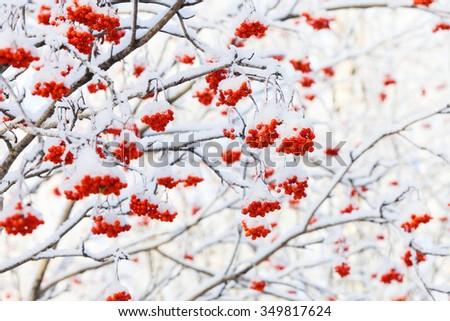 Red Rowan tree are covered by hoar-frost and snow at frosty Winter day.