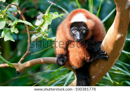Red Ruffed Lemur Gazing - stock photo
