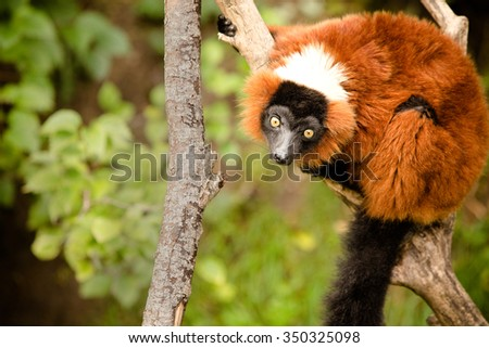 Red Ruffed Lemur - This is a shot of a Red Ruffed Lemur sitting on a branch at the zoo. Shot with a shallow depth of field. - stock photo