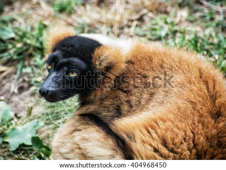 Red ruffed lemur - Varecia rubra portrait. Animal scene. - stock photo