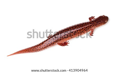 Red Salamander (Pseudotriton ruber) isolated on a white background - stock photo