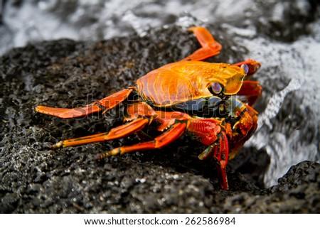 Red sally lihgt foot crab on a rock Galpagos Islands, Ecuador - stock photo