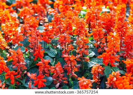 Red Salvia (Salvia splendens) in garden.