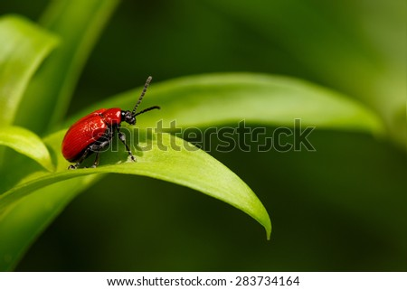 Red Scarlet lily Beetle on Plant. Lilioceris lilii - stock photo
