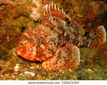 Red scorpionfish (Scorpaena notata) - stock photo