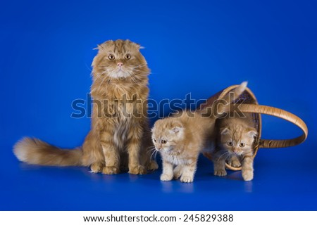 Red Scottish Fold cat and her kittens on blue background isolated - stock photo