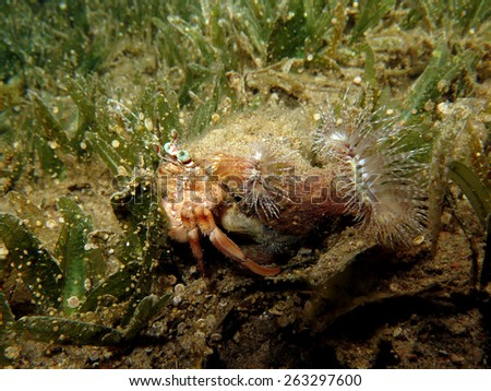 Red sea anemone carrier hermit crab in seagrass - stock photo