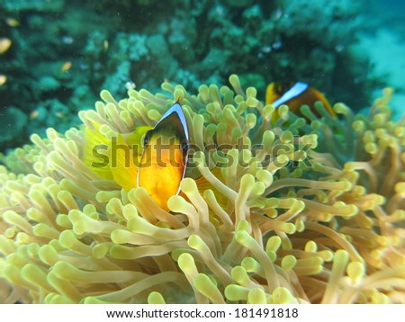 Red Sea anemonefish (Amphiprion bicintus), hiding inside the anemone soft coral