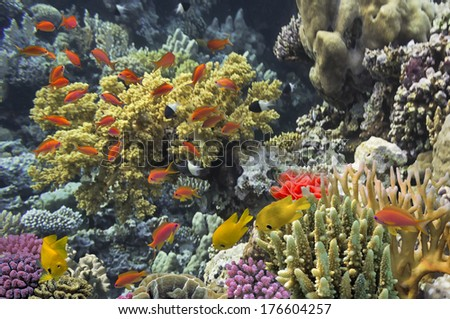 Red Sea, coral reef underwater