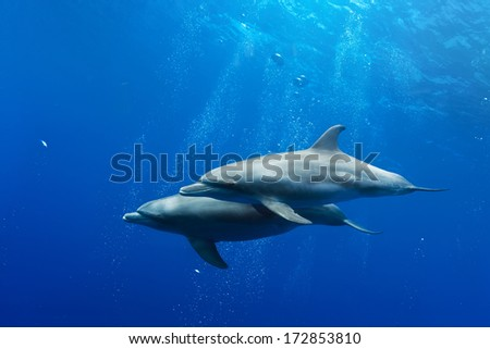 Red sea diving with wild dolphins underwater in deep blue