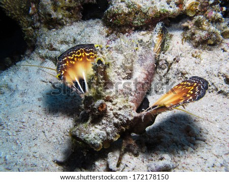 Red Sea Walkman extending colorful fins - stock photo