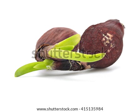 Red seed onions with green sprouts on a white background    - stock photo