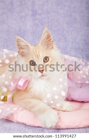 Red shaded silver Maine Coon kitten on lilac background with pink ribbons and cushions